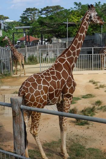 Giraffe002_2