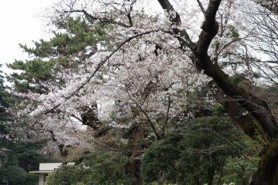 Sakura1s